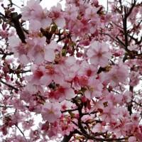 柿田湧水桜