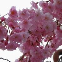 宮代野桜2